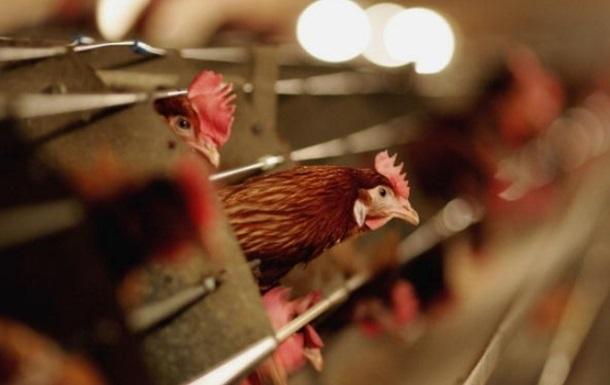 В Украине впервые за три года зафиксировали птичий грипп: симптомы болезни