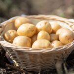 Диетологи объяснили, почему картофель особенно полезен для женщин